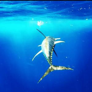Deep Sea Offshore Tuna Fishing Charters in Venice Louisiana
